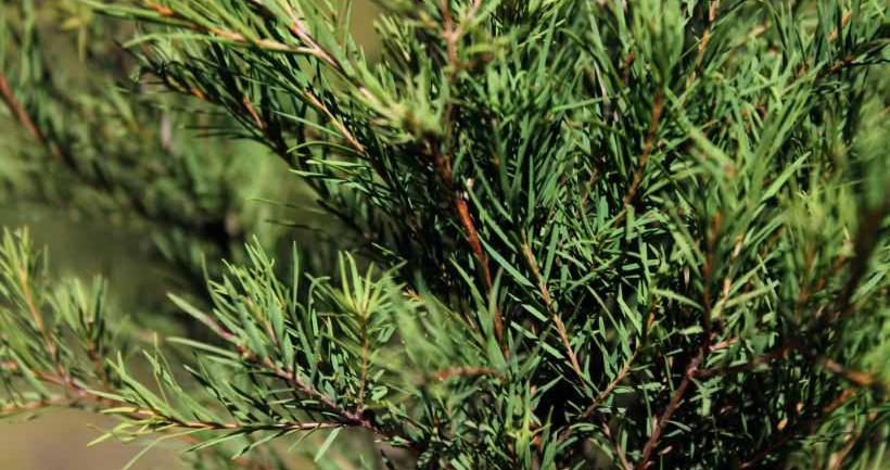 Where Does Tea Tree Oil Come From